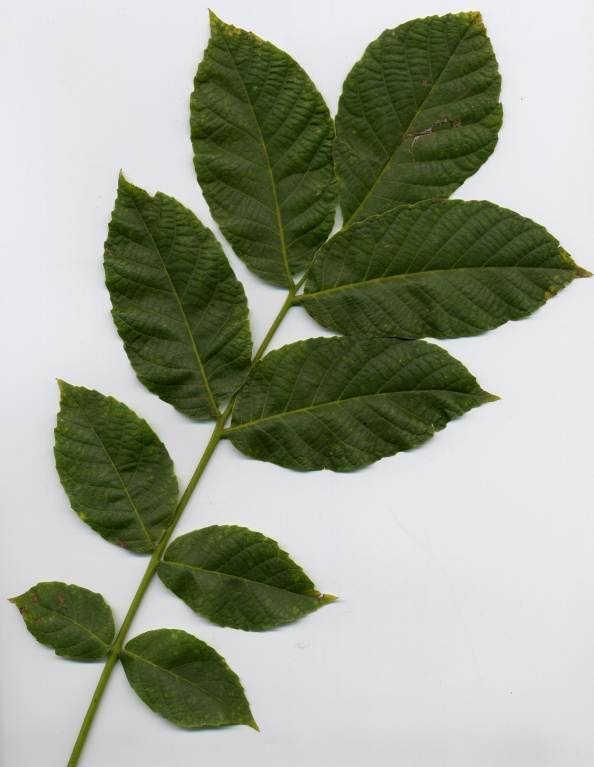Tisane Noyer, feuille coupee, 50 g (herboristerie pour