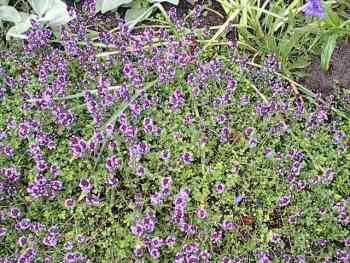 tisane serpolet plante totale coupee 50 g herboristerie pour tisanes c24 pharmacie. Black Bedroom Furniture Sets. Home Design Ideas
